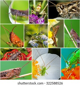 Order (lat. Tettigonioidea) is a superfamily of Orthoptera insects of the suborder Longhorn. Collage of photos of grasshoppers can be found in Russia,Siberia