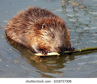 Ordinary beaver, or river beaver (Latin Castor fiber) is a semi-aquatic mammal of the order of rodents. The largest rodent of the Old World fauna and the second largest rodent after capybar.