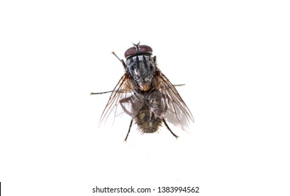 ordinary black fly sitting on a white background close-up