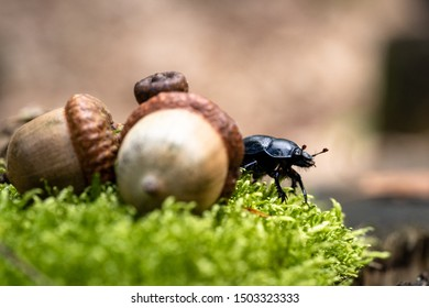The ordinary black-colored dung beetle (Geotrupes stercorarius) in a Dutch forest, walking between the fresh green moss and the bark of an old tree stump