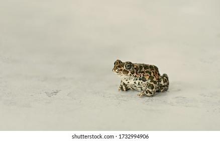 Ordinary frog on a light background. frog, shrub frog, moss frog, popular.