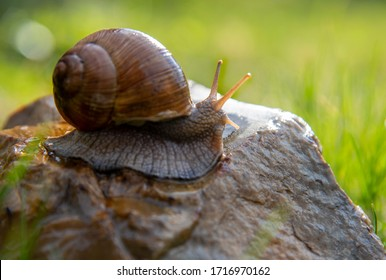 An ordinary garden snail on a stone on a blurred background, illuminated by the sun. - Shutterstock ID 1716970162