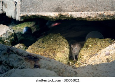 Ordinary gray rat (Rattus norvegicus) among the reinforced concrete structures, rocks and debris