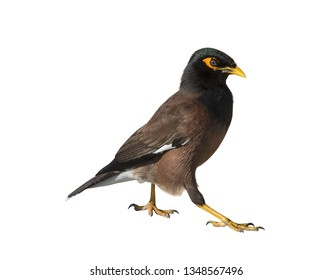 Ordinary mynah on white background isolated