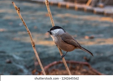 Ordinary nuthatch or Sittidae on a dry branch of a tree in the autumn forest of the Russian Far East.