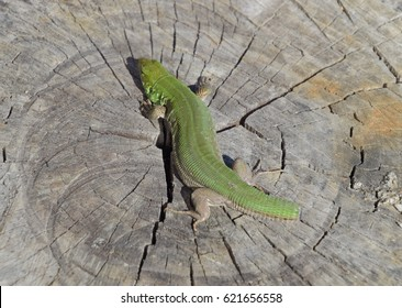 An ordinary quick green lizard. Lizard on the cut of a tree stump. Sand lizard, lacertid lizard.