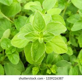 Oregano bright green furry new leaves (Origanum vulgare). Fresh oregano growing in the herb garden. Cuisine herbs. Summer natural organic healthy food.