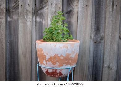 Oregano grown at home in a pot