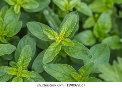 Oregano (L. Origanum vulgare)