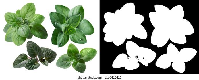 Oregano (Origanum spp.) fresh leaves. Different varieties