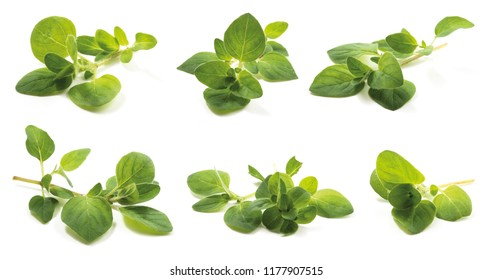 Oregano (Origanum vulgare herba), fresh leaves has high antioxidant properties of the drug. isolated on a white background.