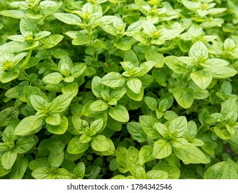 Oregano (Origanum vulgare) - a popular perennial herb known also as wild marjoram or sweet marjoram. It is used commonly in Italian and other Mediterranean cuisines.