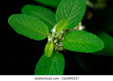 An oregano plant branch with several leaves viewed up close with detail and texture.