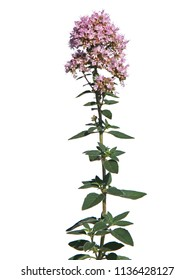 Oregano plant isolated on white, Origanum vulgare