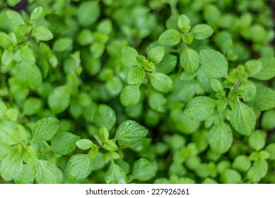 Oregano with water droplets. Cuisine herbs.