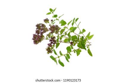 oregano.flowering oregano .origanum vulgare isolated on white background  .fresh oregano twigs