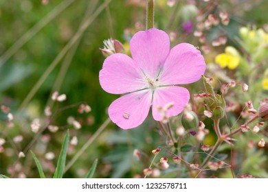Oregon cranesbill, Willamette Floodplain RNA, William L. FInley National Wildlife Refuge, Oregon, USA