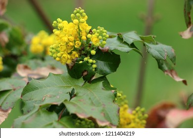 The Oregon grape