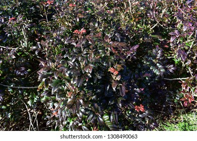 Oregon Grape bush (Mahonia Aquifolium) or Mahonia-x-Wagneri-Pinnacle, with winter colored purple leaves. Family: Berberidaceae.