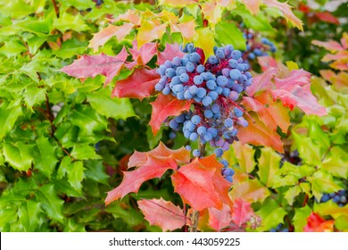 Oregon Grape Bush on a Spring Day