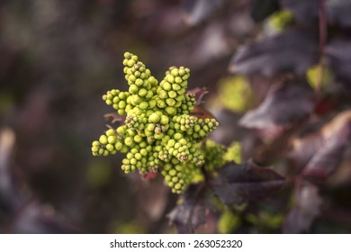 oregon grape flowers in early spring