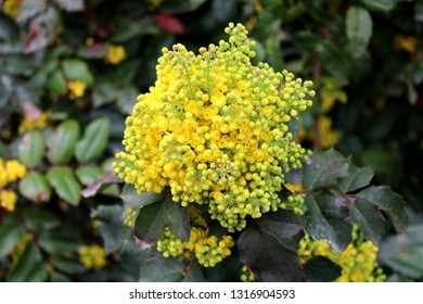 Oregon grape or Mahonia aquifolium evergreen shrub flowering plant with pinnate leaves made up of spiny leathery leaflets with dense clusters of bright yellow open blooming and closed flowers growing