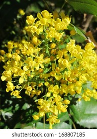 Oregon grape (Mahonia aquifolium) flowers in the spring garden