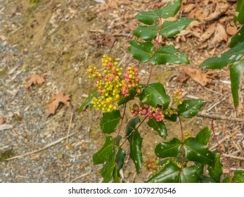 Oregon grape (Mahonia aquifolium) is a species of flowering plant in the family Berberidaceae, native to western North America. It is an evergreen shrub with pinnate leaves consisting of spiny leaflet