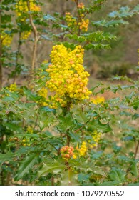 Oregon grape (Mahonia aquifolium) is a species of flowering plant in the family Berberidaceae, native to western North America.