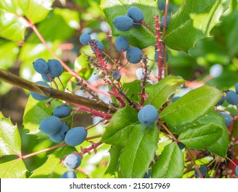 Oregon grape (Mahonia aquifolium) is a species of flowering plant in the family Berberidaceae, native to western North America