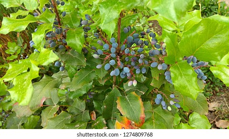 Oregon grape ripe, small, dark blue berries with whitish coating & glossy spiny-edged (like holly leaves), light green foliage on a small, low-growing shrub. Oregon grape berries resemble small grapes