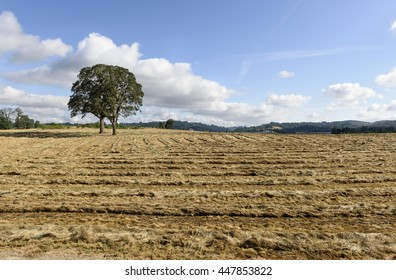 Oregon Grown Ryegrass Harvest in the Willamette Valley, Marion County