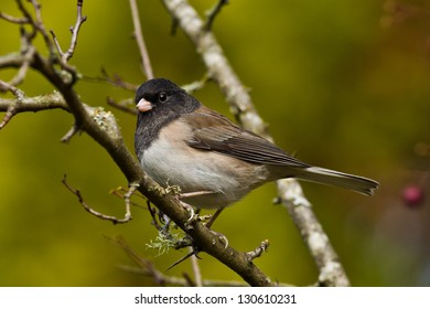 Oregon Junco (Junco hyemalis oreganus) is a genus of small grayish American sparrows.