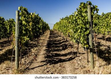 Oregon Pinot Noir Vineyard in the Summer