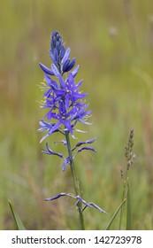 Oregon Purple wildflower Camassia leichtlinii on soft green blur background