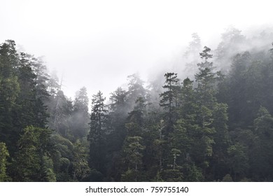 Oregon trees in fog.