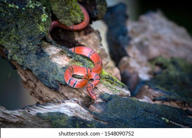 Oreocryptophis porphyraceus is a rat snake species, commonly called the black-banded trinket snake, red bamboo snake or red mountain racer, found in forested hills in southeastern Asia.