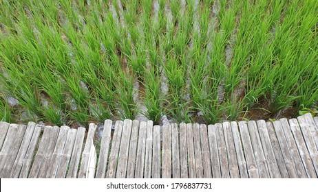 orfanic ruce feild in thailamd - Shutterstock ID 1796837731