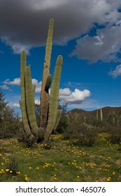 Organ Pipe cactus and desert wildflowers in Ironwood Forest National Monument in the spring of 2005.