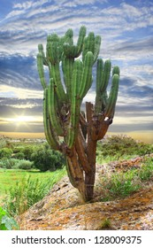 Organ Pipe Cactus in Oaxaca, Mexico morning