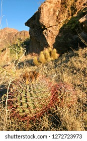Organ pipe national park, Arizona - young plants Ferocactus with red spines hooks