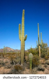Organ pipe national park, Arizona - group of large cacti against a blue sky (Stenocereus thurberi, Carnegiea gigantea)