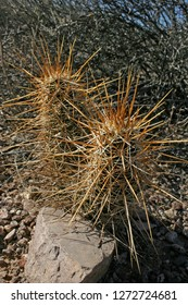 Organ pipe national park, Arizona - Nichol hedgehog cactus, Echinocereus mojavensis