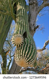 Organ pipe national park, Arizona - large cactus Carnegiea gigantea in desert