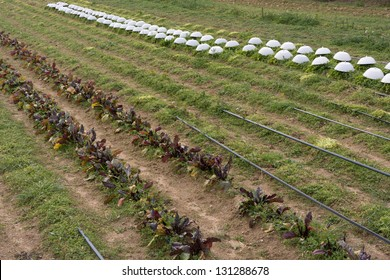 Organic agriculture with drip irrigation