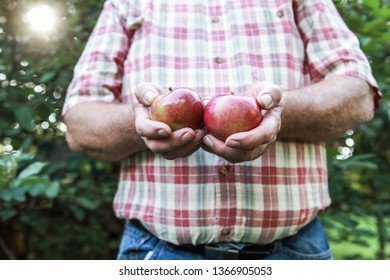 Organic apple harvest, man holding  freshly harvested apple