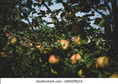 Organic apples garden, nature close-up