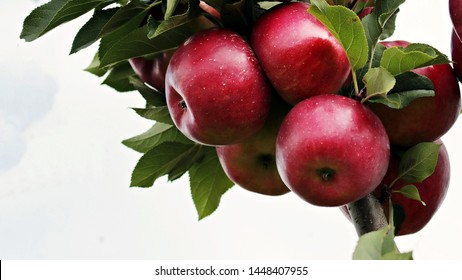 Organic apples hanging from a tree branch, apples in the orchard, apple fruit close up