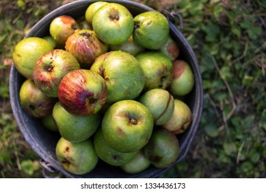 Organic apples in a metal bucket from above