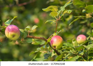 Organic apples on a tree